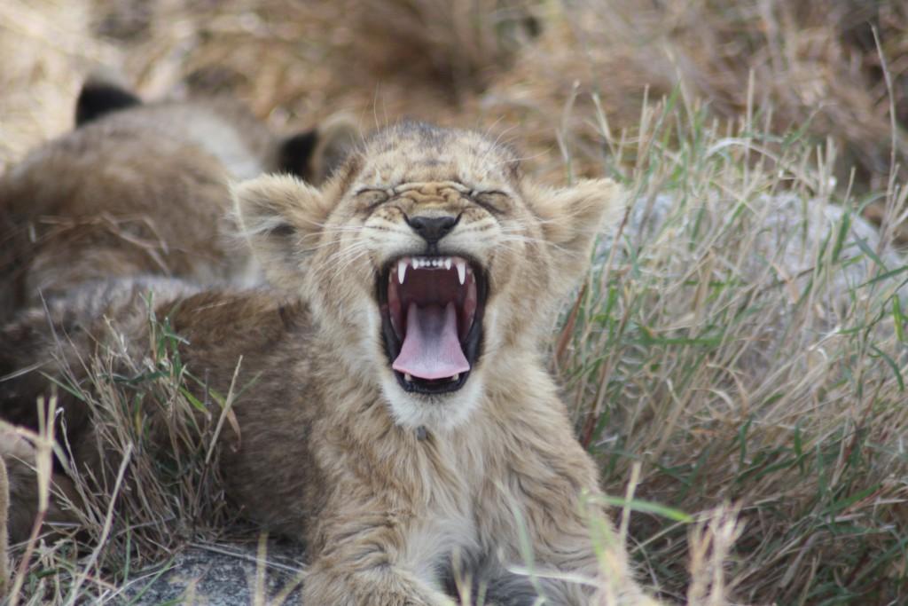 En av løveungene vi så da vi var på safari i Serengeti.