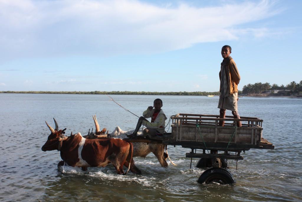 Vi blir hentet av et oksespann etter en båttur fra Anakao til Toliara.