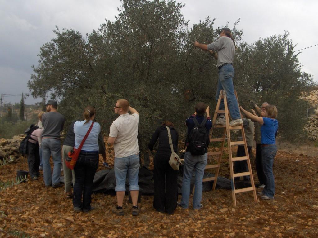 Olivenplukking med palestinske bønder.