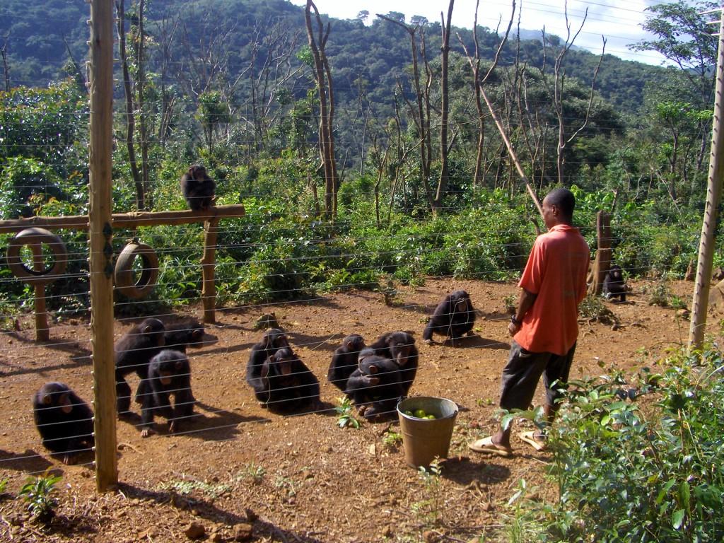 Reservat og rehabiliteringssenter for aper som har vært i fangenskap.