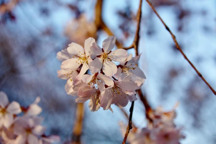 Japan - Kirsebærblomstring