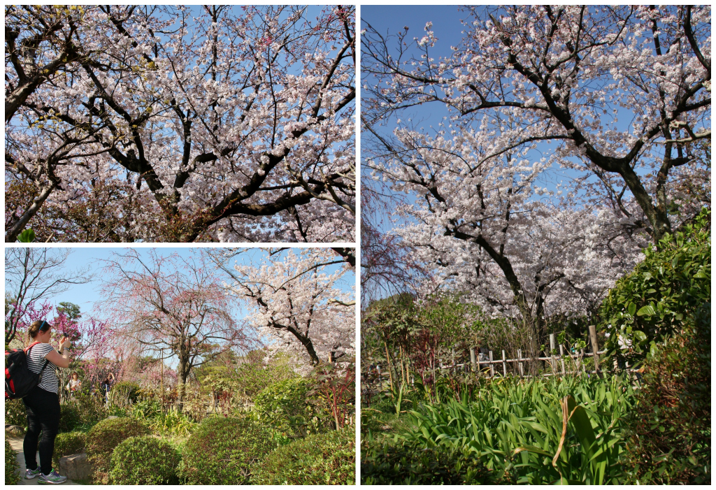 Collage kirsebærblomstring 1