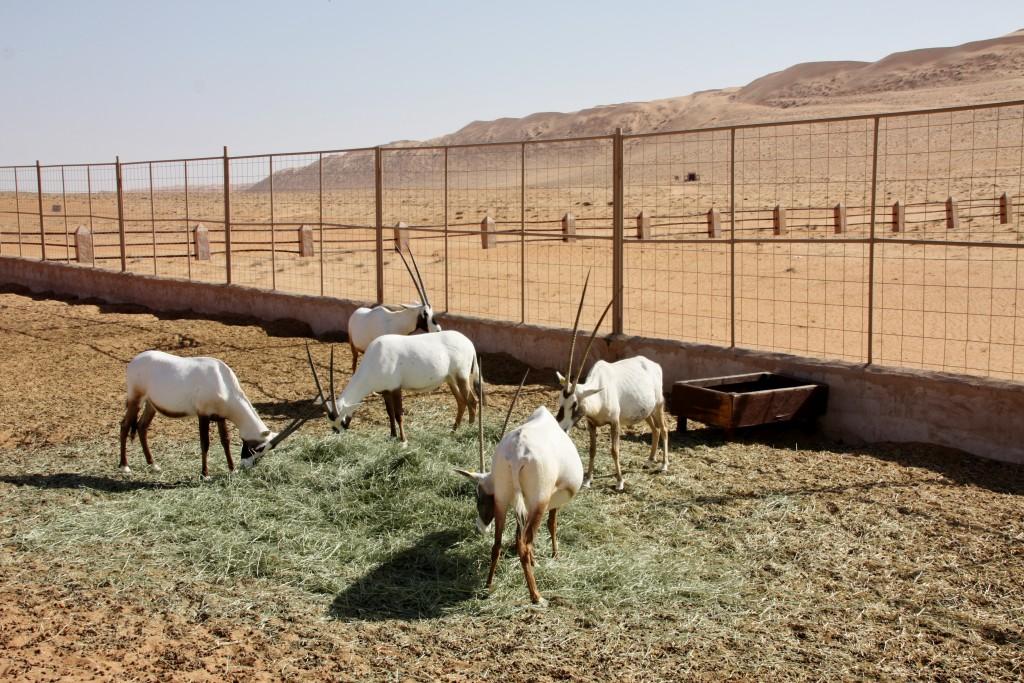 Oman - Wahiba Sands - IMG_1471 – Kopi