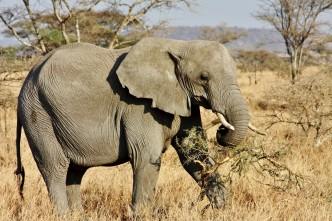 Tanzania - Serengeti - (321) - Kopi