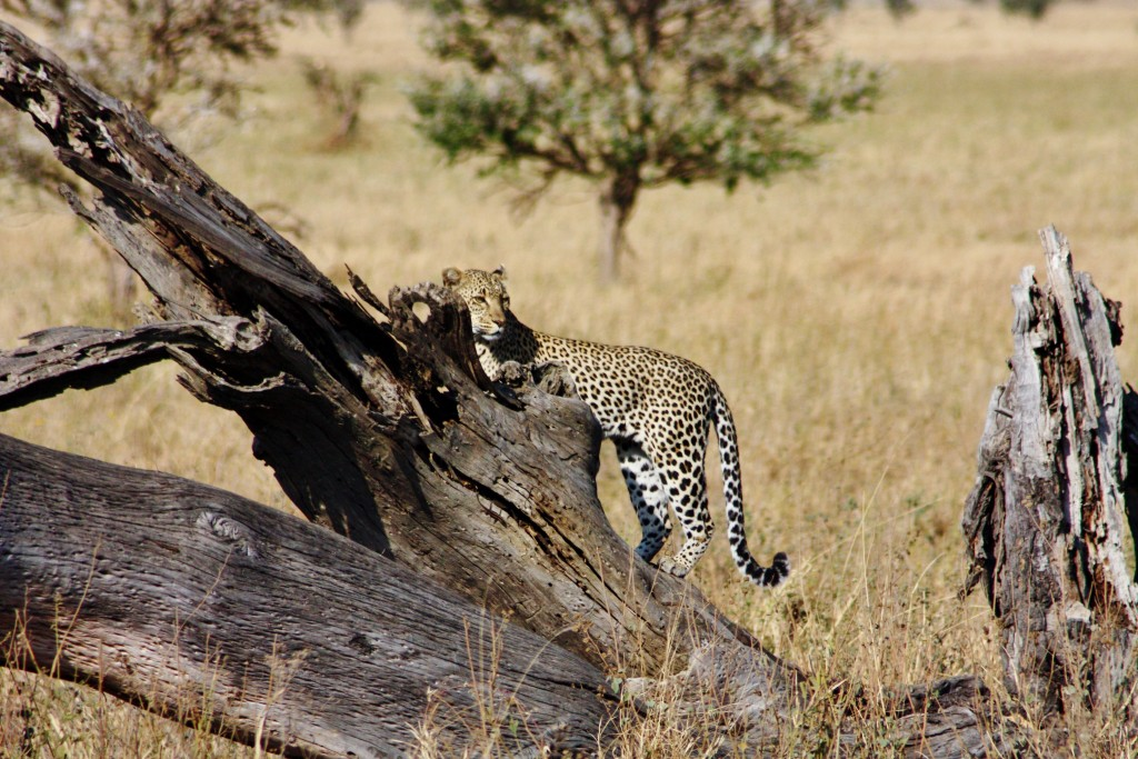 Tanzania - Serengeti - (332) - Kopi