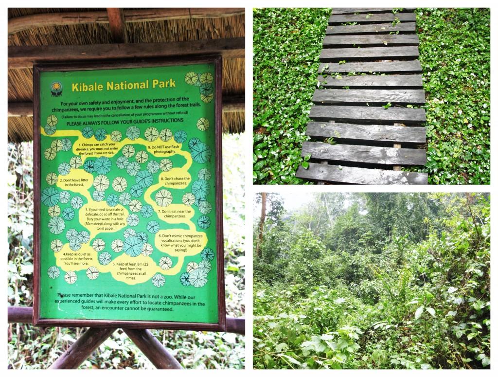 Collage - Sjimpansetrekking i Kibale nasjonalpark