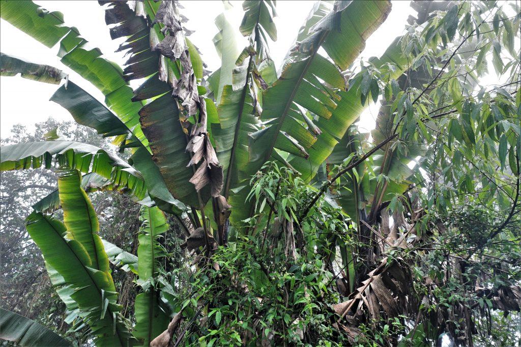 Malaysia - Cameron Highlands - tåkeskog