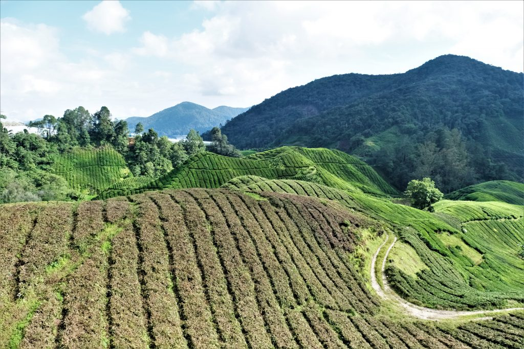 Malaysia - Cameron Highlands - teplantasjer