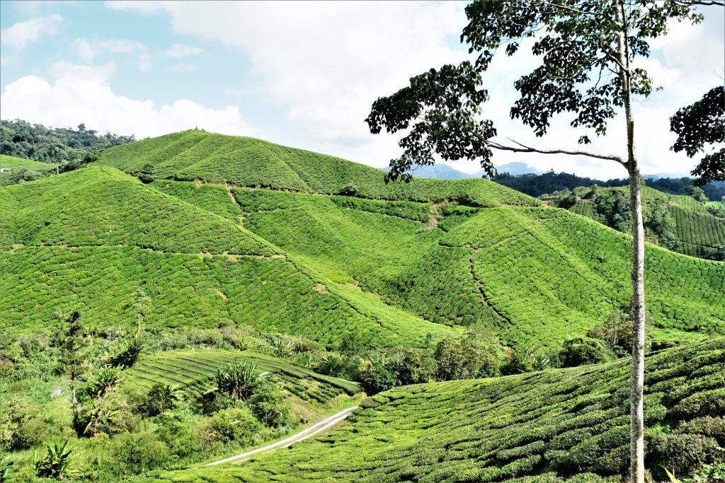 Malaysia - Cameron Highlands - teplantasje